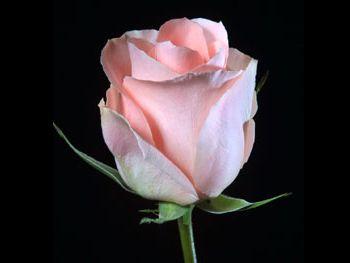 Comtesse 204 Rosaceae