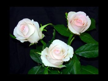 Cool Breeze Rosaceae