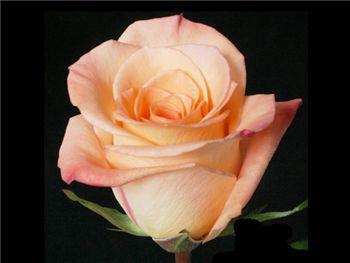 Donna Rosaceae