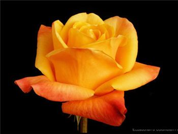 Dutchy Rosaceae