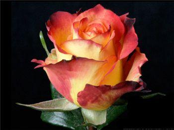 Flamenco Rosaceae