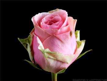Geraldine Rosaceae