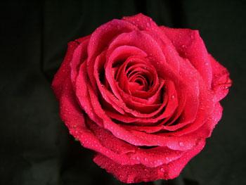 Cherry O! Rose