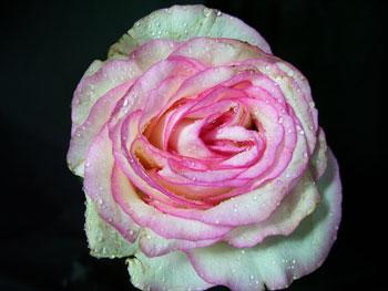Doce Vita Rose