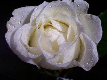 Escimo Rose