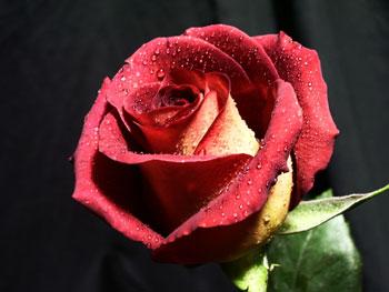 Stelle Rose
