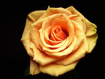 Azafran Rose
