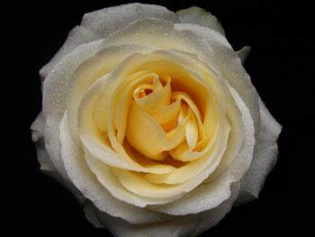 Blizzard Rose