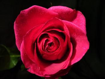 Buggatti Rose