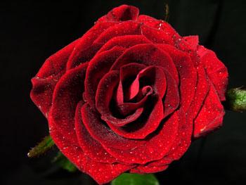 Bulls Eye Rose