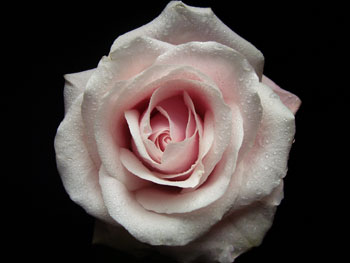 Candy Bianca Rose