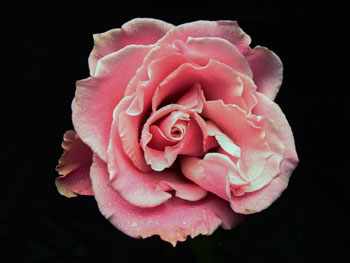 Charming Unique Rose