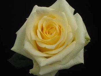 Creme De La Creme Rose