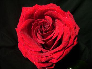 Deseo Rose
