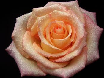 Duett Rose