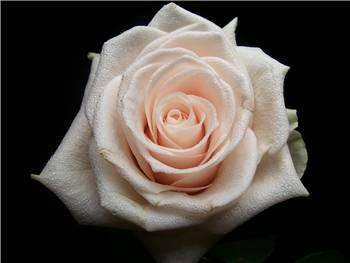 Emanual Rose
