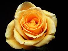 Euforia Rose