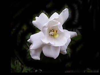 Gardenia Rubiaceae