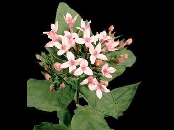 Arethusa HFC Rubiaceae