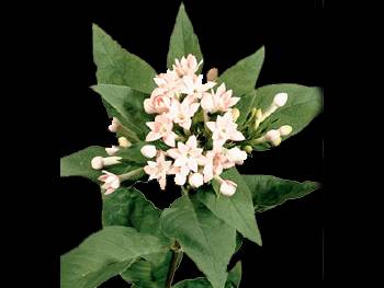 Bridesmaid HFC Rubiaceae