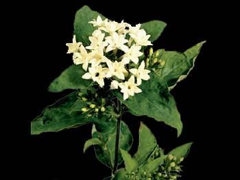 Felix MHFC Rubiaceae
