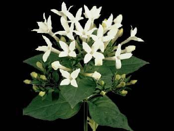 Jo White HFC Rubiaceae