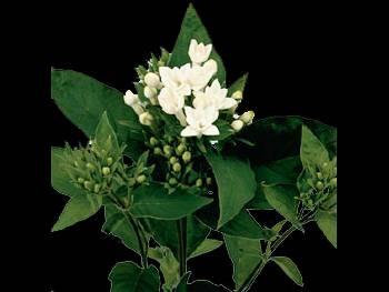 La Patrice HFC Rubiaceae