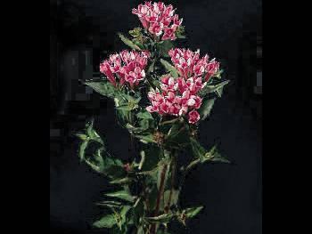 Rose Rubiaceae