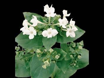 Royal Zara HFC Rubiaceae