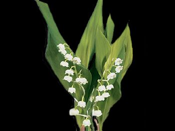 Lilly of The Valley HFC Ruscaceae