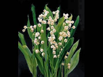 Lily of the Valley Ruscaceae