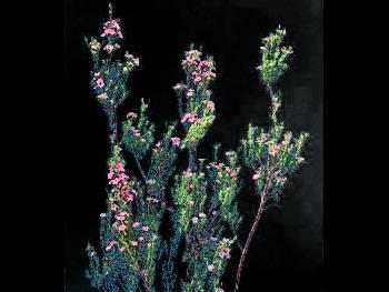 Breath Rutaceae