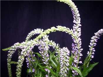 Lavender Veronica