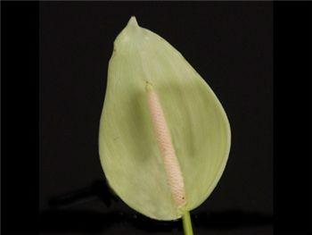 Green Araceae