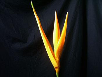 Heliconia1 Heliconia