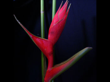 Heliconia2 Heliconia