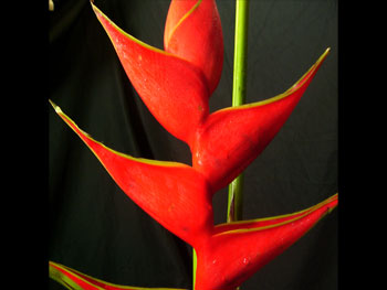 Heliconia3 Heliconia