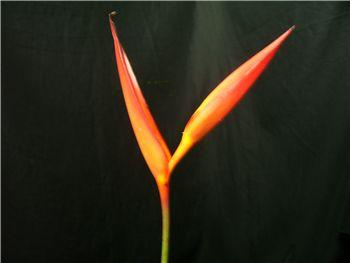 Psittacorum Flamingo Heliconia