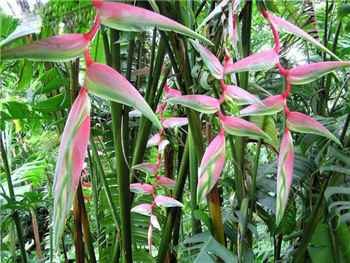Pink pendant Chartacea (Sexy Pink) Heliconiaceae