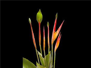 Psittacorum Andrameda Heliconiaceae