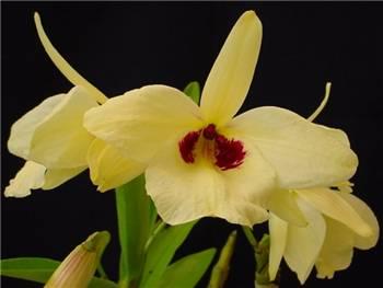 Albosanguineum Orchidaceae