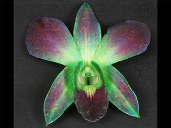 Bom Dyed Green Orchidaceae