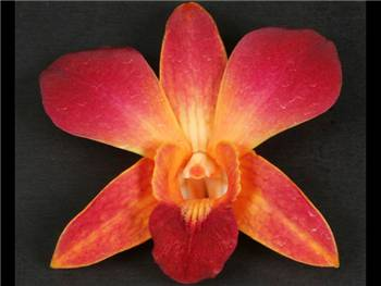Bom Dyed Orange Orchidaceae