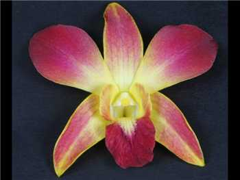 Bom Dyed Yellow Orchidaceae