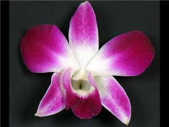 Bom Orchidaceae