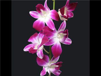 Bombay Orchidaceae