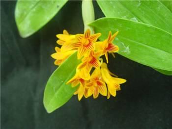 Bullenianum Orchidaceae