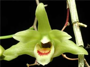 Catenatum Orchidaceae