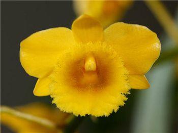 Chrysotoxum Orchidaceae