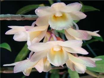 Crocatum Orchidaceae